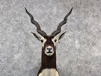 In Bareilly, blackbuck numbers fall by 71% from 578 in 2013 to 171 in 2016