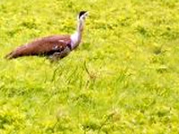 Record Great Indian Bustard sighting and get Rs 500 reward