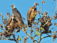 Endangered Egyptian vultures spotted near Delhi