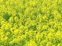 State to approach Centre against GM mustard