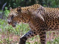 Study to map leopards prowling outside SNGP