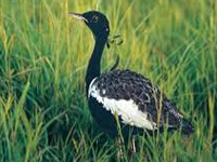 Lesser Floricans tagged to trace migration pattern