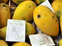 100 tonnes of mango ripened using chemicals destroyed