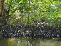Mangrove afforestation to protect fragile shoreline