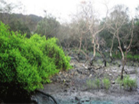 Forest Survey of India data: Maharashtra govt reports highest increase in mangrove cover across country