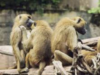 State-level panel to check monkey menace