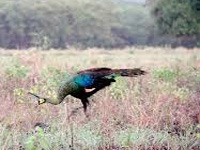 Poisonous substance' kills 4 peacocks on Ganga banks