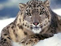 Himachal Pradesh to begin breeding snow leopards in captivity