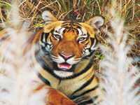 Four poachers held near Kanha Tiger Reserve