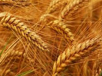 Mitigating ozone pollution can enhance rice, wheat output: Study