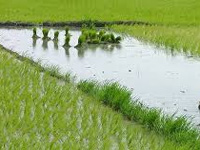 Only 5% of farmers cultivating wheat, rice insured their crops