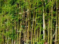 Budget brings hope to bamboo-rich northeast