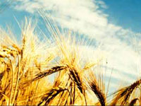 Climate change: More CO2 in atmosphere produces low-quality wheat, rice
