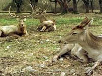 Hangul, the rare Kashmir deer, may soon go extinct