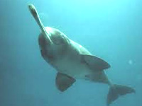 Gangetic dolphin census to be conducted in Ramganga