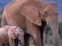 Loss of elephants, megaherbivores could lead to rapid environmental changes: Study