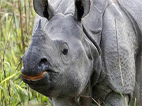 Northeast insurgents poaching rare Assam rhinos?
