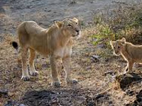 With Modi as PM, will Centre echo Gujarat opposition to shifting of lions?