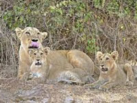 Three Asiatic lions turn man-eaters, sent to captivity for life