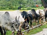 Make cow a national animal: Rajasthan HC