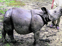 Protecting rhinos is key election issue in Assam