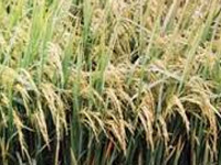 Farmers want govt to announce policy on basmati
