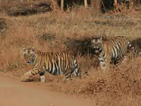 Ninth tiger death in Uttarakhand in just five months