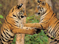 In a first, Nainital forest division to be included in tiger census