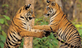 Reserve areas in UP not enough to contain tigers