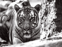 Sariska tiger reserve leaps from `fair' to `good' grade