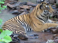 Kali Tiger Reserve set to lose 75% of its protective cover