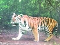 Tiger all but extinct in Telangana