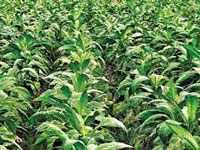 Study environmental impact of tobacco cultivation: House panel