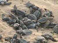 2 lakh baby Olive Ridley turtles emerge in Odisha beach