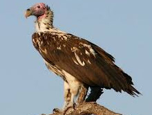 250 endangered vultures spotted at Amangarh forest range