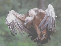 Vulture count: Ahmedabad's loss is Surendranagar's gain