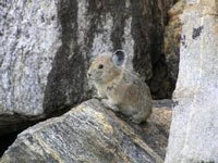 New species of pika found in Sikkim