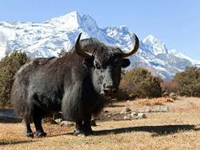 Himalayan yak facing threat of climate change